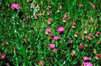 meadow knapweed plants: click for larger image