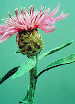 meadow knapweed flower - click for larger image
