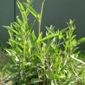 meadow knapweed preflower - click for larger image