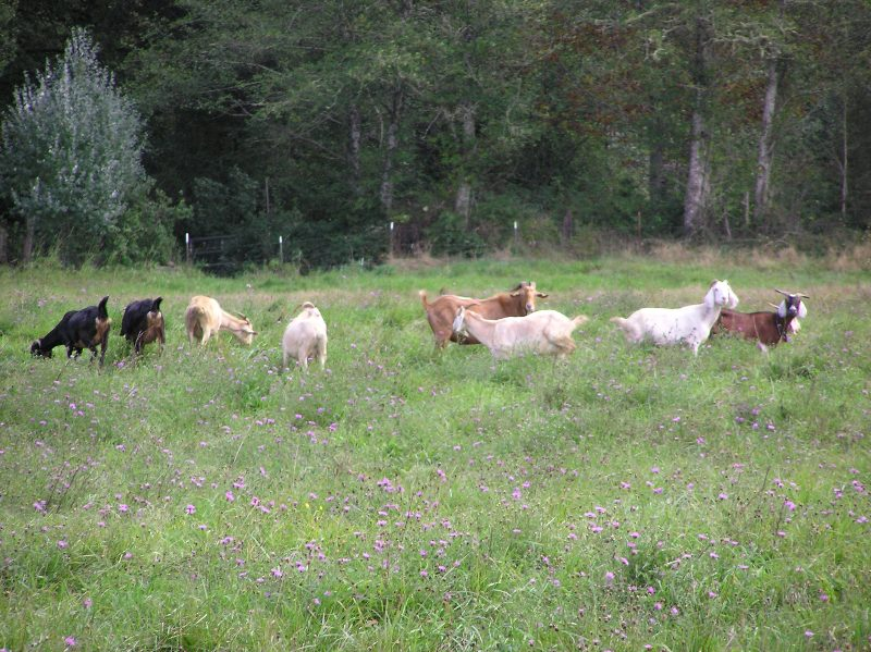 Meadow knapweed with goats