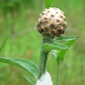 meadow knapweed bud closeup - click for larger image