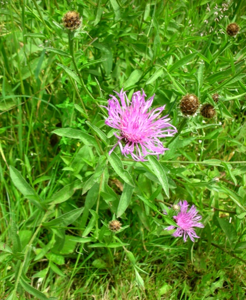 meadow knapweed flowers and buds