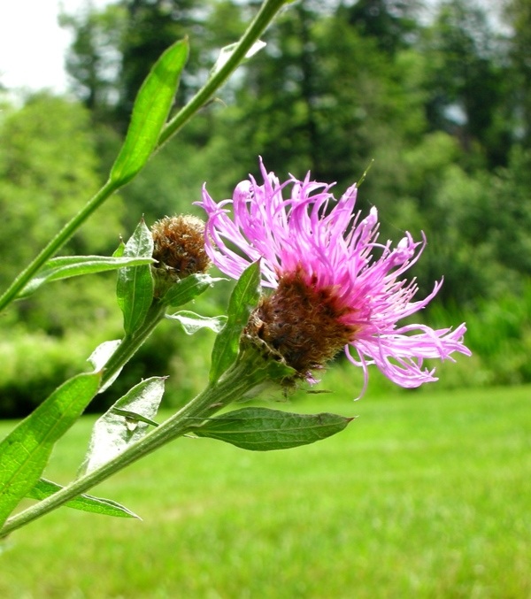 meadow knapweed flowering stem