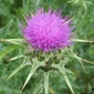 milk thistle flowerhead - click for larger image