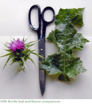 milk thistle comparison