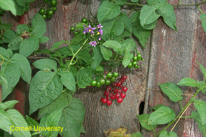 Bittersweet Nightshade Vines With Leaves Flowers And Berries Click For Larger Image