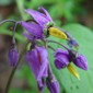 Bittersweet nightshade flowers - click for larger image