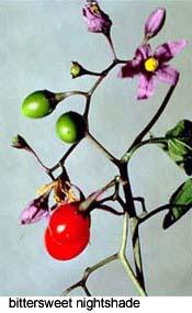 bittersweet nightshade flowers and berries