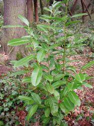 English Laurel Identification And Control Prunus