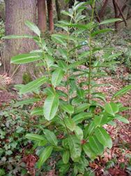 English laurel - Prunus laurocerasus - young plant in woods - click for larger image