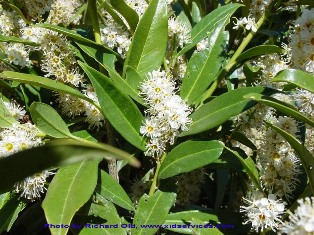 English laurel - Prunus laurocerasus - flowering plant - click for larger image