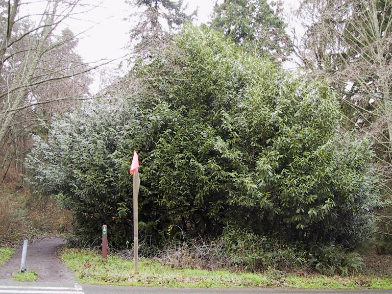 English laurel large bush - Prunus laurocerasus