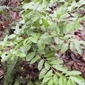 English_laurel_Prunus_laurocerasus_small_plant - click for larger image
