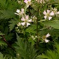 Evergreen blackberry plant - click for larger image