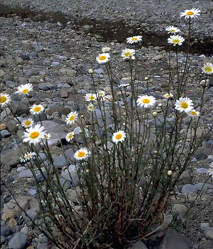 oxeye daisy plant - click for larger image