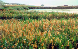 phragmites infestation