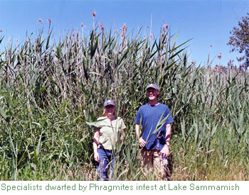 phragmites on Lake Sammamish