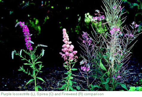 purple loosestrife comparison