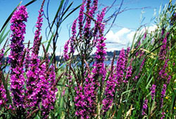 purple loosestrife plants - click for larger image