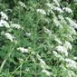 poison-hemlock - click for larger image