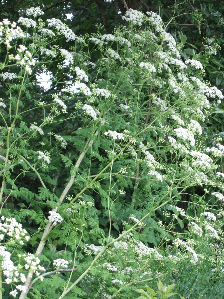 Weeds in flower beds identify - Poison Hemlock Poison Hemlock