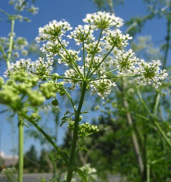 poison-hemlock flowers - click for larger image