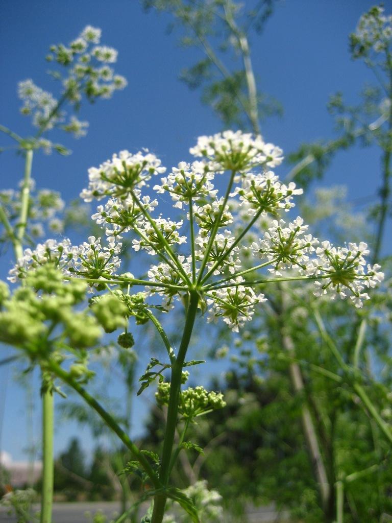 Poison Hemlock Identification And Control Conium Maculatum King