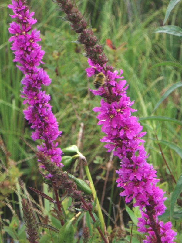 Purple loosestrife flower spikes