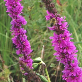 la arroyuella - purple loosestrife