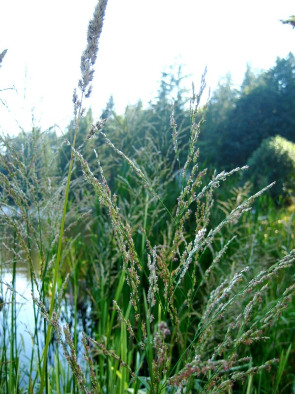 Reed sweetgrass (Glyceria maxima) flowerheads early season