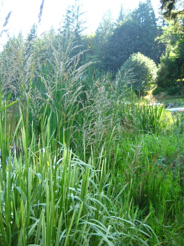 Reed sweetgrass (Glyceria maxima) flowering