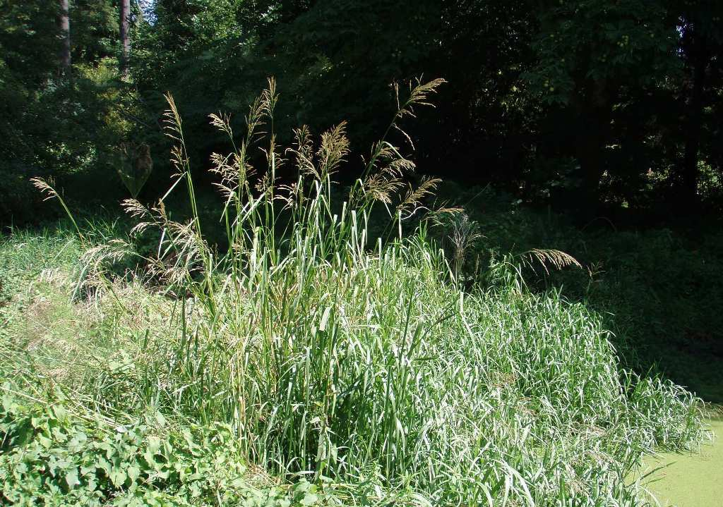 Reed sweetgrass (Glyceria maxima) in wetland