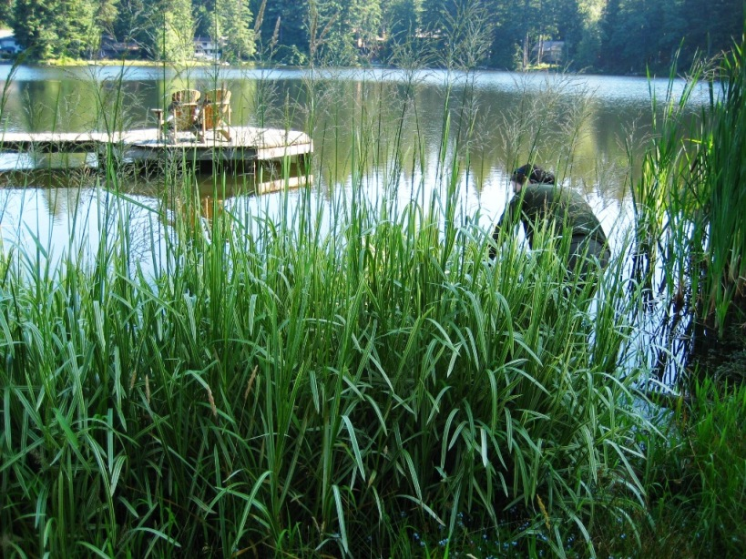 Reed sweetgrass (Glyceria maxima) on a lakeshore