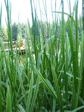 Reed sweet grass variegated (Glyceria maxima var. variegata) - click for larger image