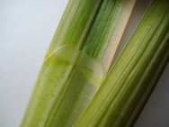 Reed sweetgrass (Glyceria maxima) leaf ligule - click for larger image