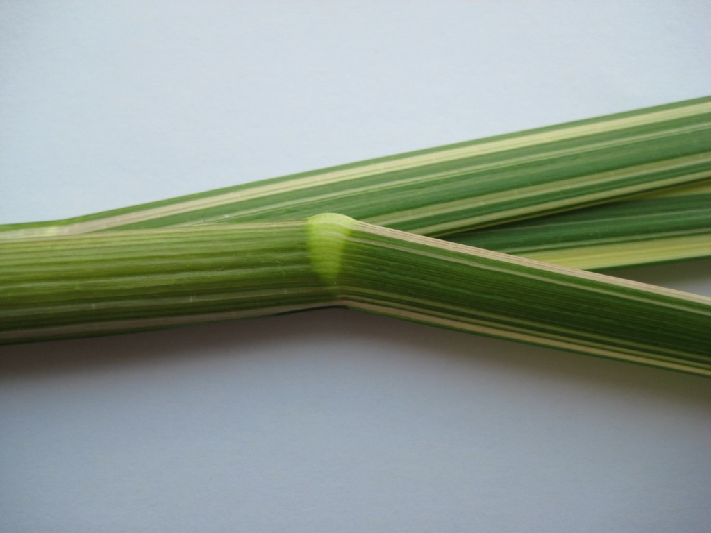 Reed sweetgrass (Glyceria maxima) stem node and leaf sheath