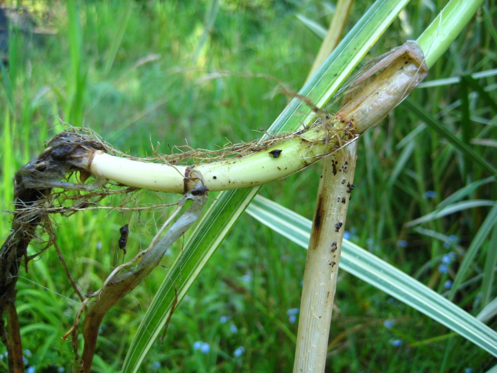 Reed sweetgrass (Glyceria maxima) stem base and roots
