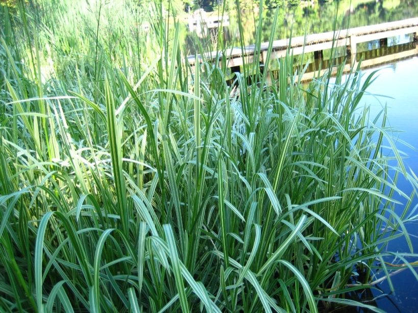 Reed sweetgrass (Glyceria maxima) variegated form