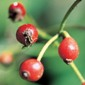 Multiflora rose fruit - click for larger image