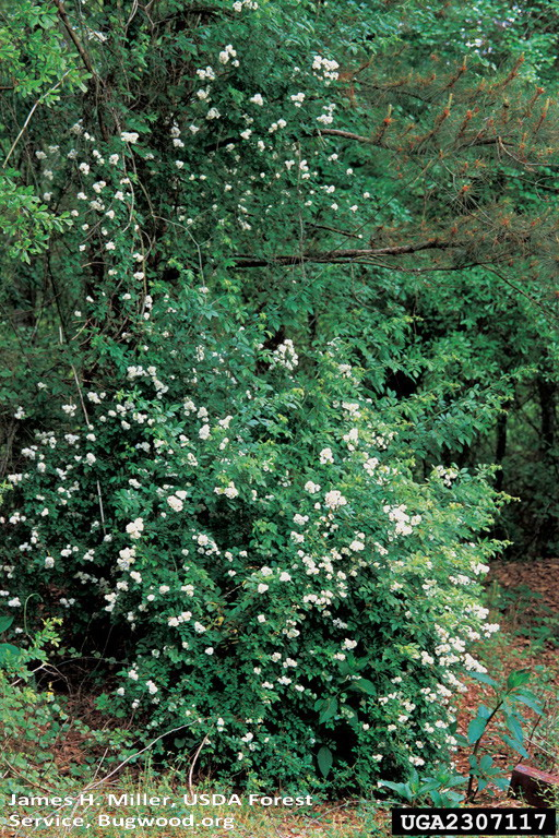 Multiflora rose on tree