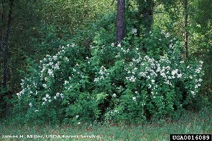 Multiflora rose around a tree - click for larger image