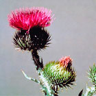 scotch thistle flower