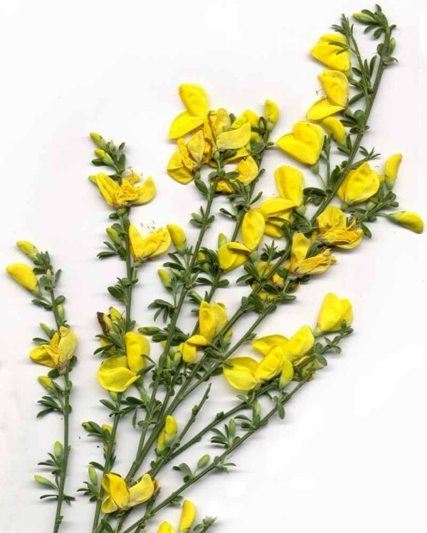 Scotch broom stems with flowers