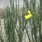 Scotch broom in March with buds - click for larger image