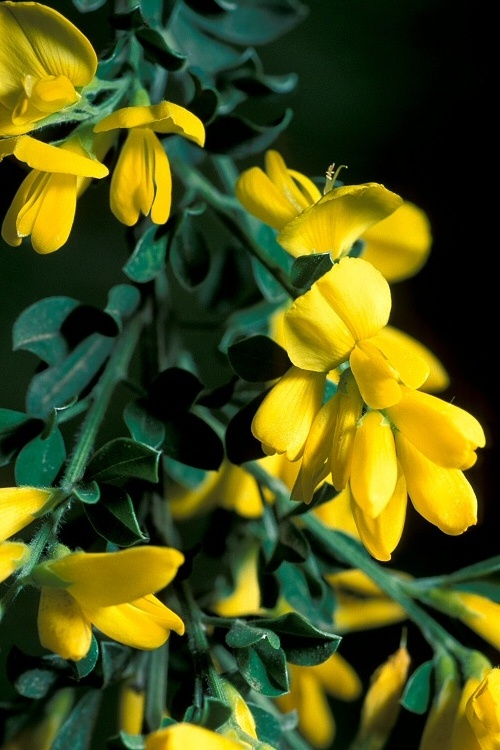 Scotch broom flowers closeup