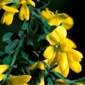 Scotch broom flowers closeup - click for larger image