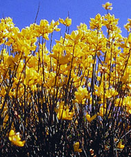 Spanish broom plants