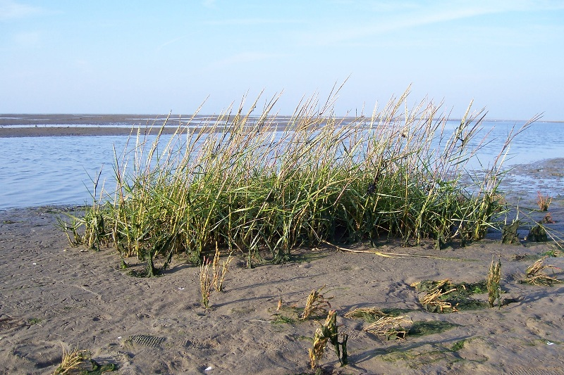 Spartina anglica (common cordgrass) - photo source http://commons.wikimedia.org/wiki/Image:Spartina_anglica.ashx