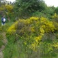 Scotch broom in a field - click for larger image