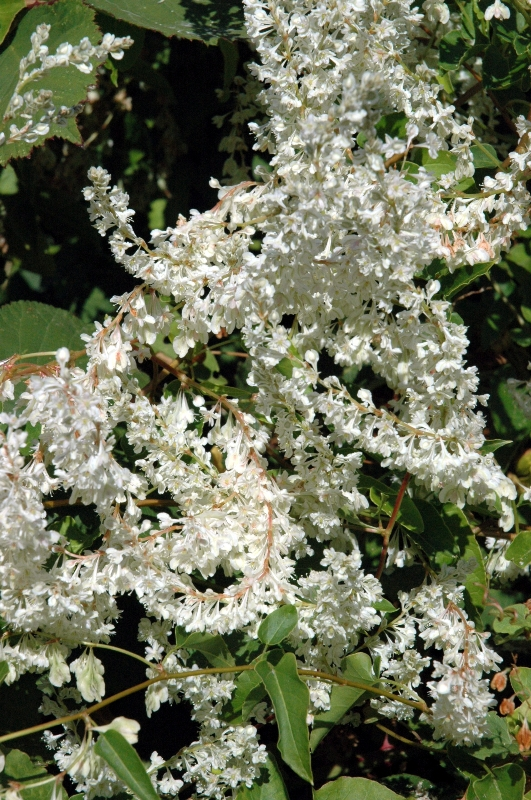 silver-lace-vine-flowers-small